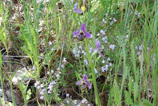 Ophrys bourdon (frelon) - Ophrys fuciflora