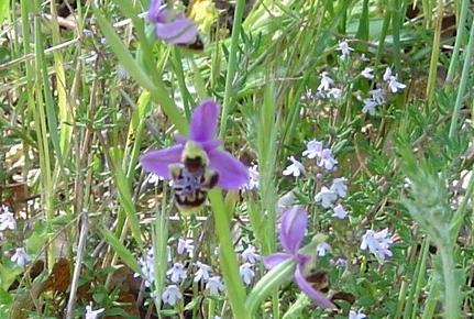 Ophrys bourdon ou Ophrys frelon