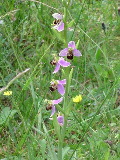 Ophrys abeille - Ophrys apifera