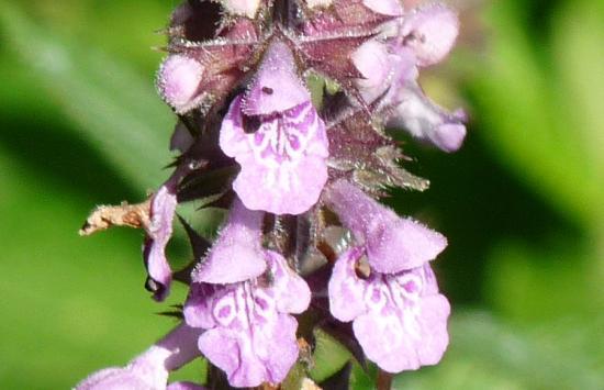 Epiaire des marais - Stachys palustris