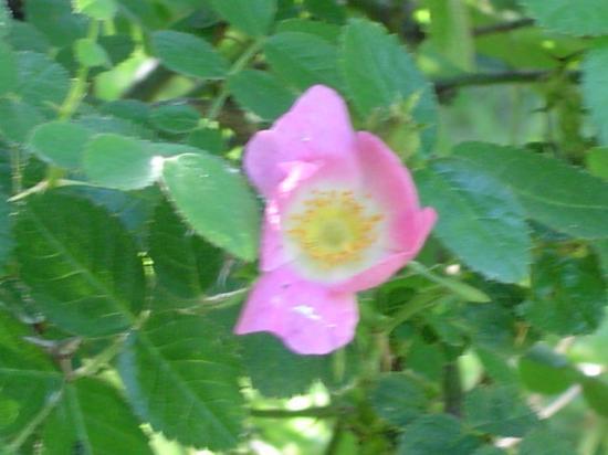 Rosier rouillé (fleur) - Rosa rubiginosa