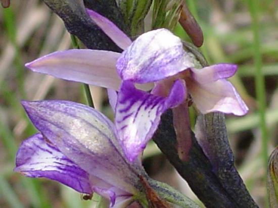 Limodore à feuilles avortées - Limodorum abortivum