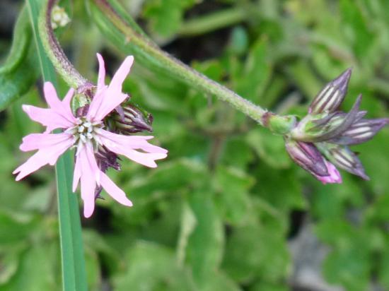 Lychnis fleur de coucou - Silene flos-cuculi