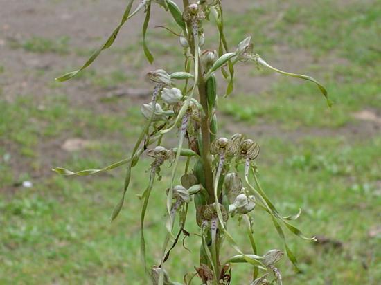 Orchis bouc - Himantoglossum hircinum