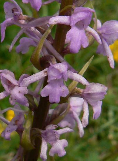 Orchis moucheron - Gymnadenia conopsea