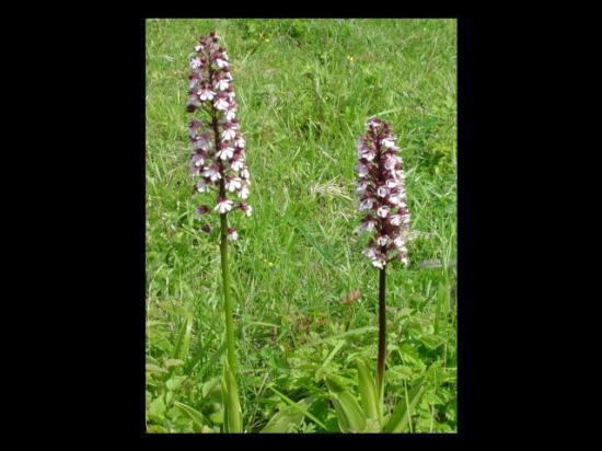 Orchis pourpre - Orchis purpurea