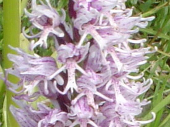 Orchis singe - Orchis simia