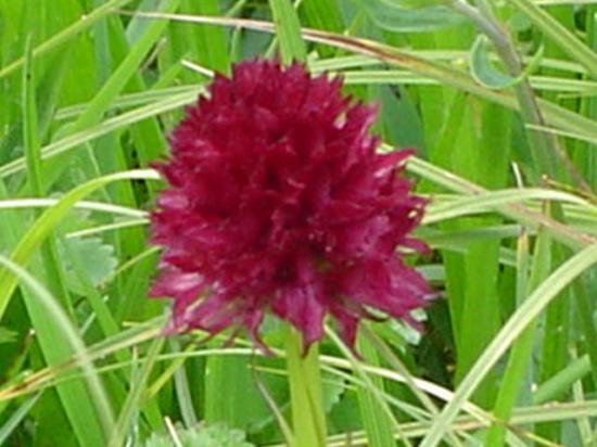 Orchis vanille (Nigritelle) - Nigritella nigra
