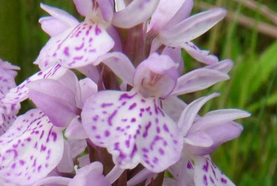 Orchis à feuilles tachetées - Dactylorhiza maculata