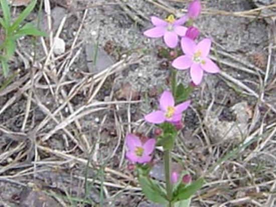 Petite centaurée - Erythrœa Centaurium