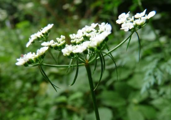 Petite ciguë (Faux-persil) - Aethusa cynapium