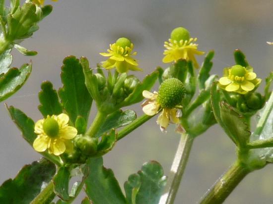 Renoncule scélérate - Ranunculus sceleratus