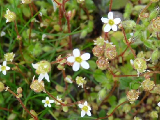Saxifrage tridactyle - Saxifraga tridactylites