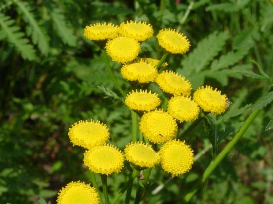 Tanaisie commune (Barbotine) - Tanacetum vulgare