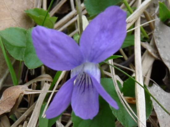 Violette de Rivin - Viola riviniana