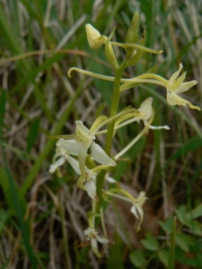 Platanthère à deux feuilles - Platanthera bifolia