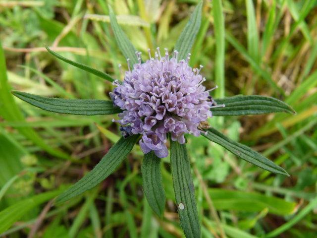 Knautie des champs - Knautia arvensis