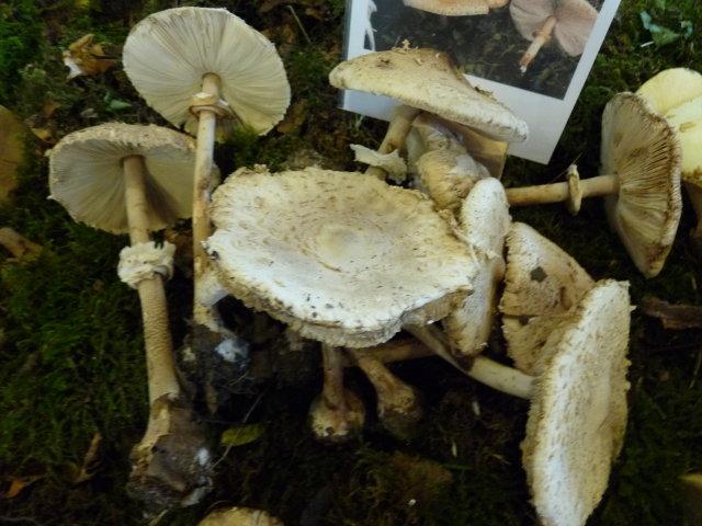 Lépiote mammelonnée - Macrolepiota mastoidea