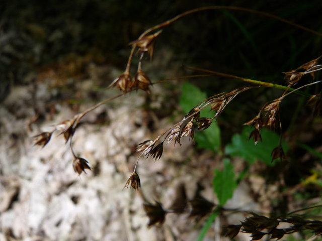 Luzule de Forster - Luzula forsteri
