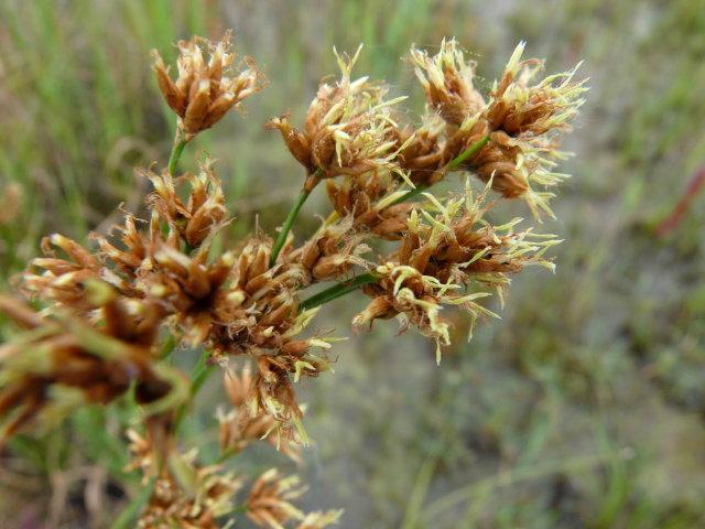 Marisque - Cladium mariscus (2)