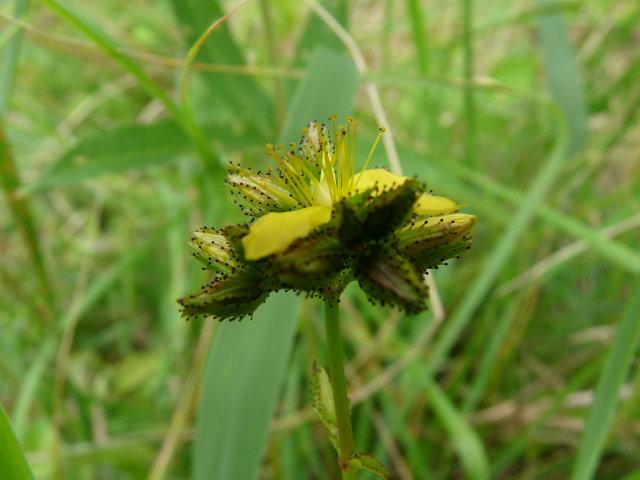 Millepertuis des montagnes - Hypericum montanum (2)