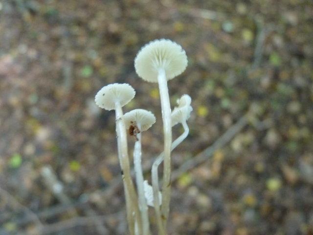 Mycène à pied gluant - Mycena rorida