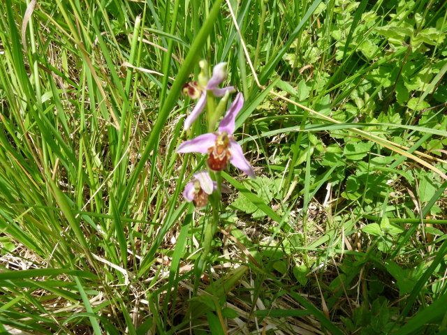 Ophrys abeille - Ophrys apifera (2)