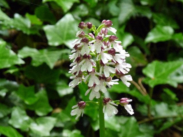 Orchis pourpre - Orchis purpurea (3)