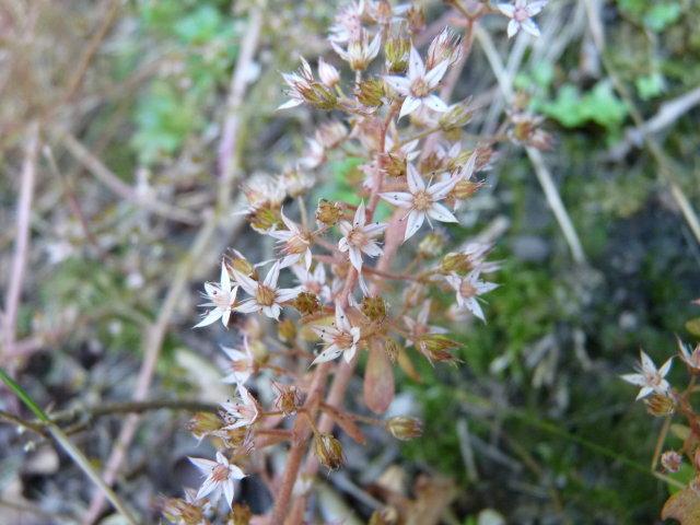 Orpin pourpier ou Orpin paniculé - Sedum cepaea (3)