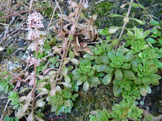 Orpin pourpier ou Orpin paniculé - Sedum cepaea (4)