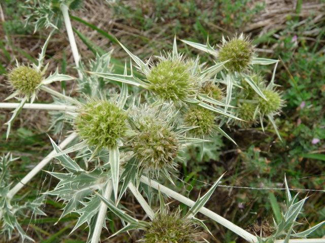 Panicaut champêtre - Eryngium campestre