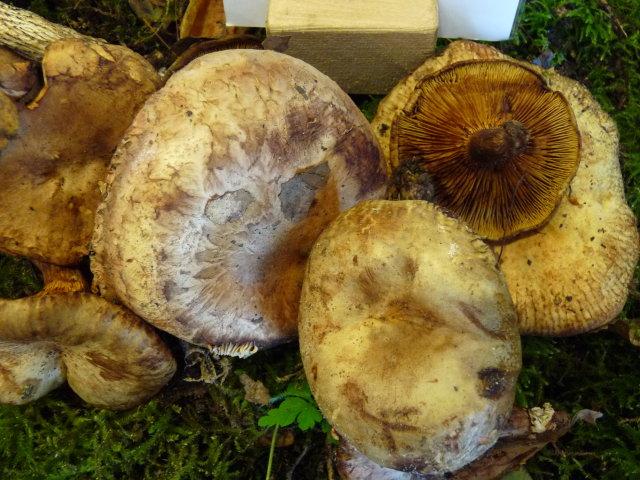 Paxille des aulnes - Paxillus rubicundulus