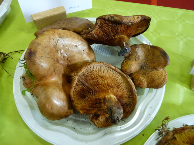 Paxillus obscurosporus