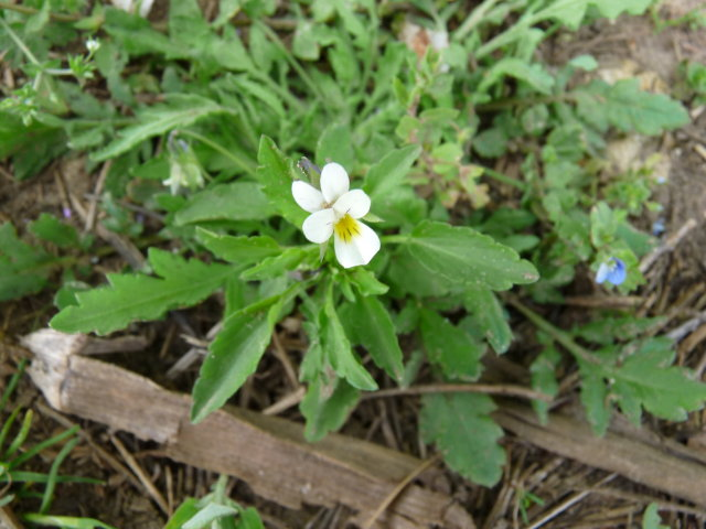 Pensée des champs - Viola arvensis (2)