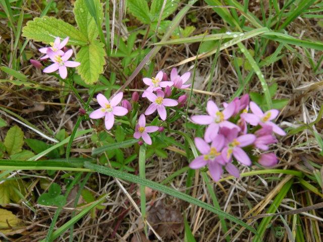 Petite centaurée - Centaurium erythraea (2)