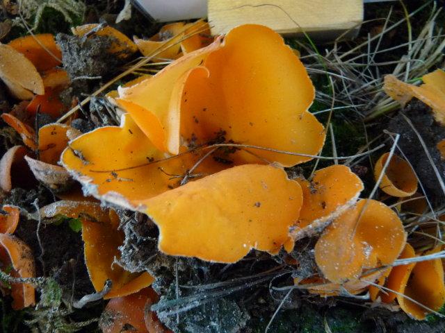 Pézize orangée - Aleuria aurantia (2)