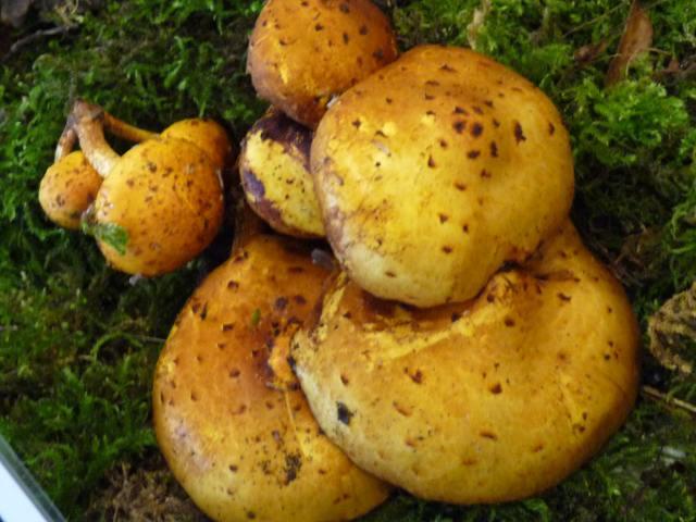 Pholiote-dorée - Pholiota limonella