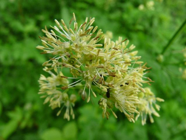 Pigamon jaune - Thalictrum flavum (2)