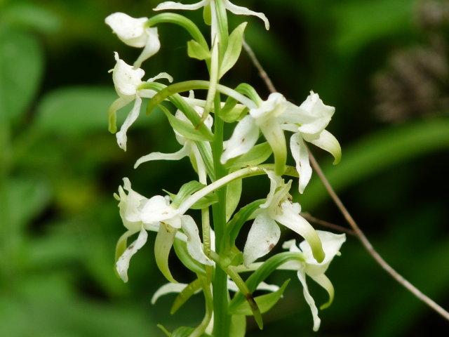 Platanthère à fleurs vertes -  Platanthera chlorantha (2)