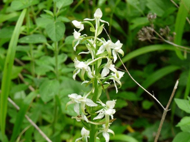 Platanthère à fleurs vertes -  Platanthera chlorantha