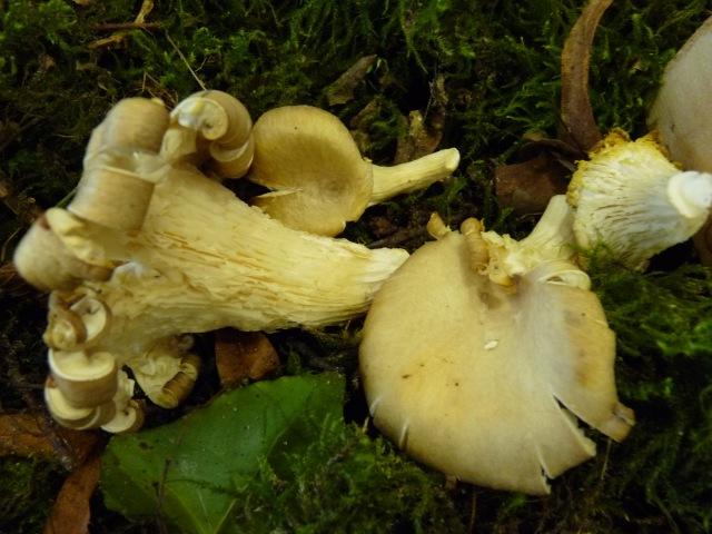 Pleurote-corne-d'abondance--Pleurotus-cornucopiae
