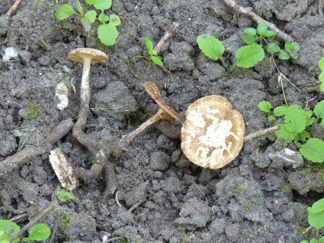 Polypore cilié - Polyporus ciliatus (2)
