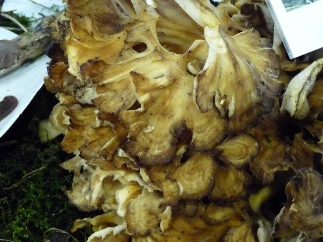 Polypore en touffe - Grifola frondosa (2)