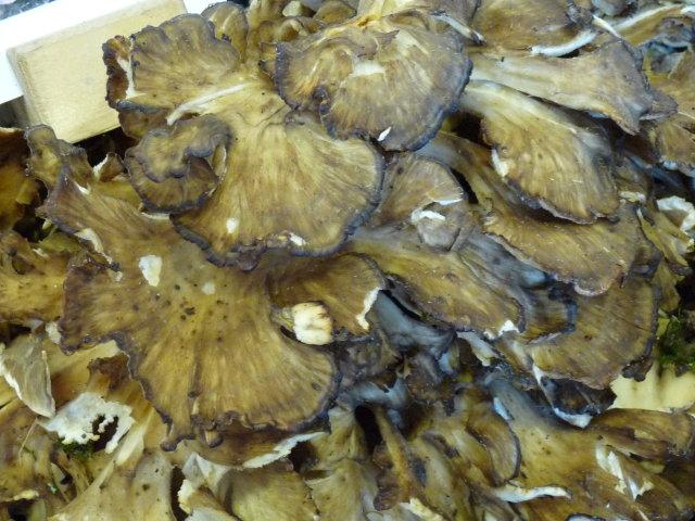 Polypore en touffe - Grifola frondosa (3)