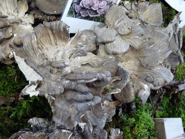 Polypore en touffe - Grifola frondosa