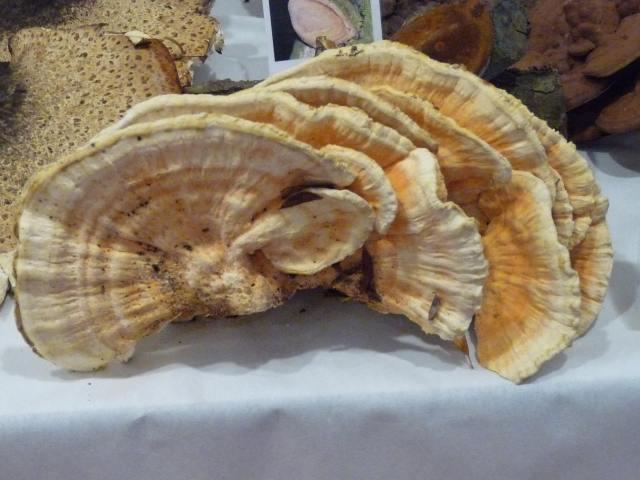 Polypore soufré - Laetiporus sulfureus (4)
