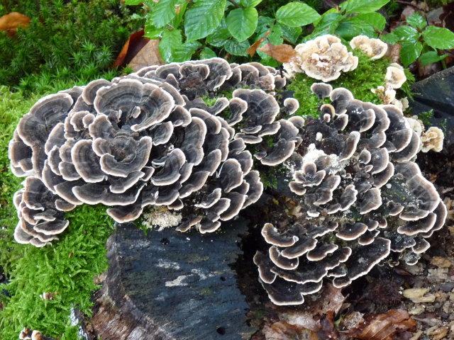 Polypore versicolore - Trametes versicolor