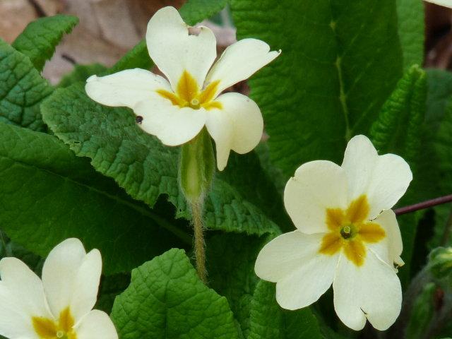 Primevère acaule - Primula vulgaris (2)