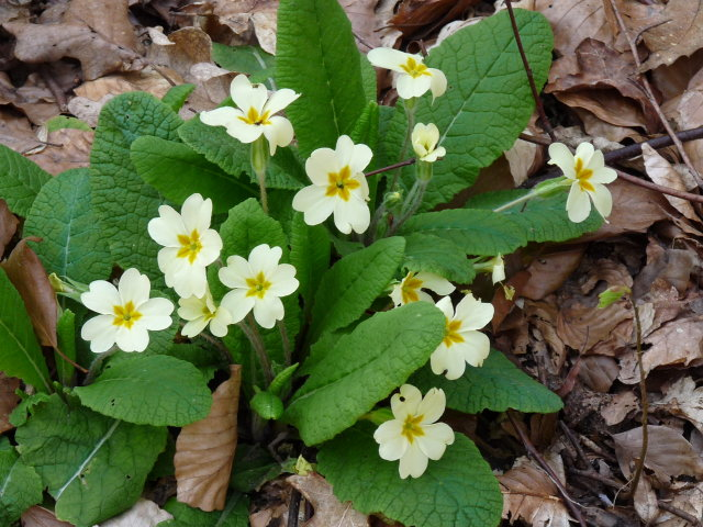 Primevère acaule - Primula vulgaris