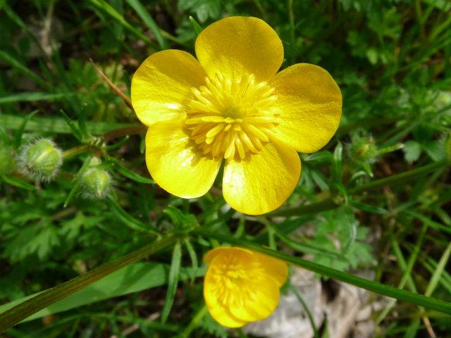 Renoncule bulbeuse - Ranunculus bulbosus